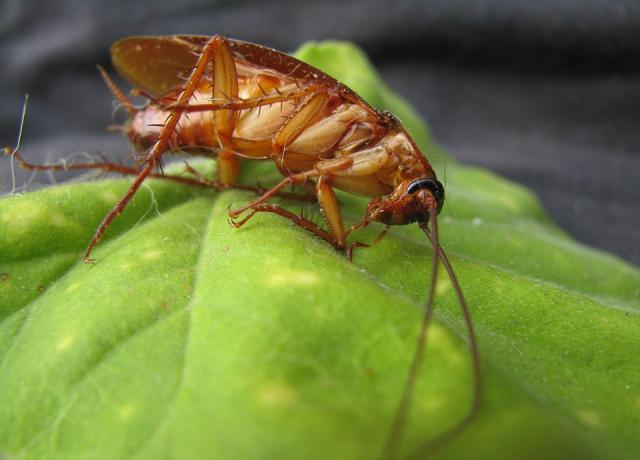 Pest Control in NJ - Cockroach