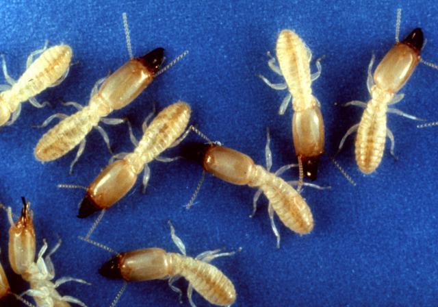 pest control in NJ - termites