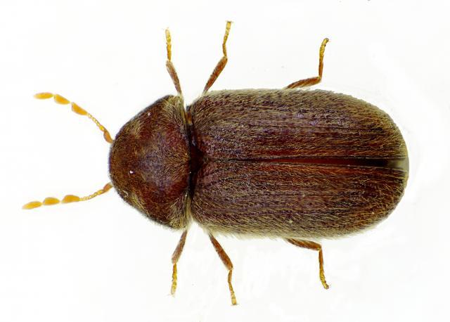 cigarette beetle in NJ