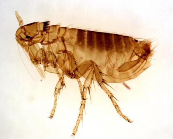 Fleas in NJ
