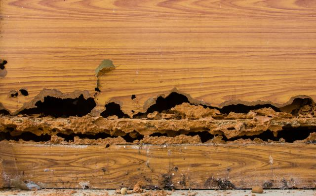 Wood Infected by Termites Pests